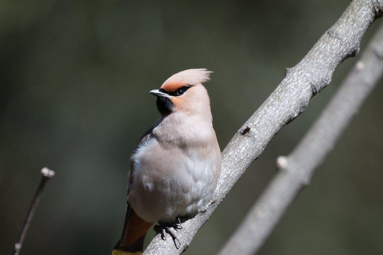 BORGで撮影した野鳥・キレンジャクの写真画像