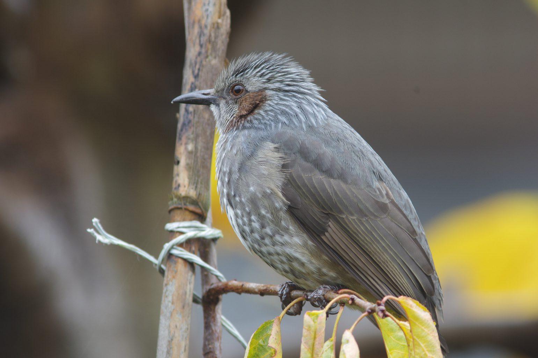 AFボーグ BORG90FLで撮影した野鳥・ヒヨドリの写真画像
