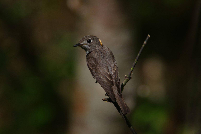 AFボーグ BORG90FLで撮影した野鳥・サメビタキの写真画像