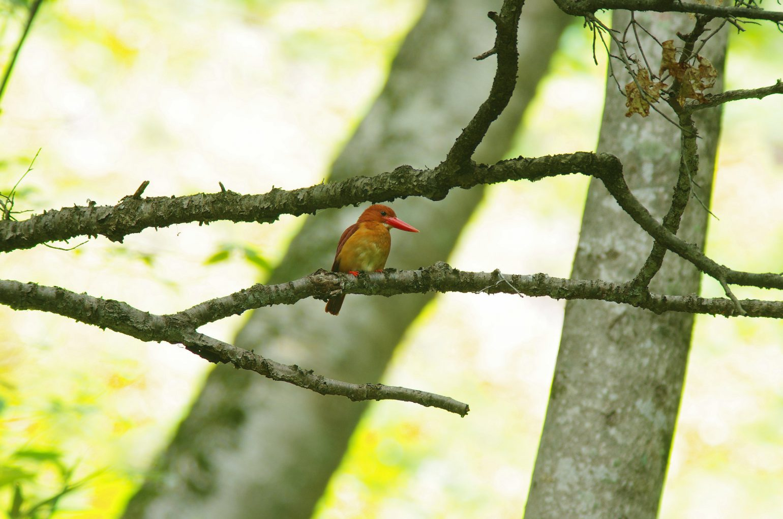 AFボーグ BORG90FLで撮影した野鳥・アカショウビンの写真画像