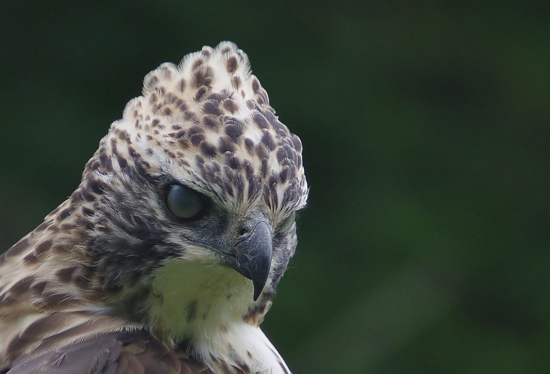 AFボーグ BORG90FLで撮影した野鳥・クマタカの写真画像