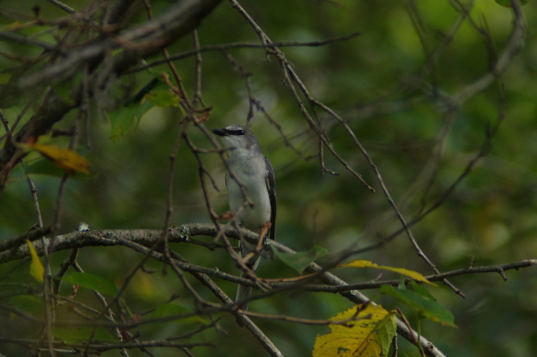 笠井トレーディング BLANCA-70ED 直焦点撮影 サンショウクイの野鳥写真画像