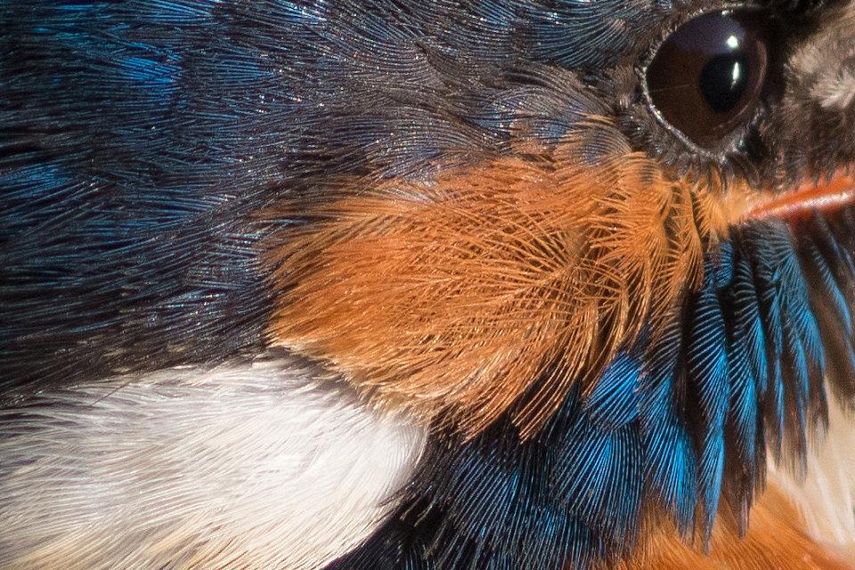 BORGで撮影した野鳥・カワセミの高解像写真画像
