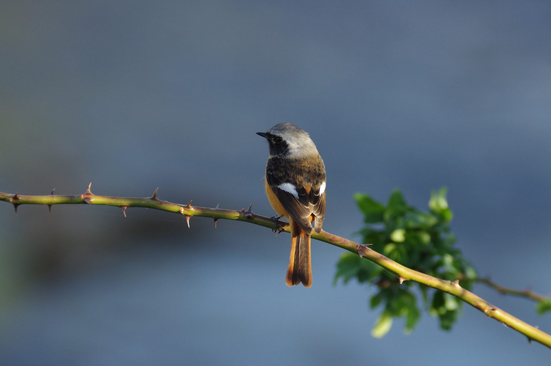 BLANCA-70EDで撮影したジョウビタキの野鳥写真画像