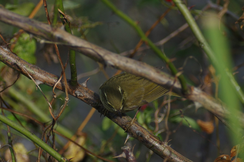 CAPRI-80ED+7214テレコンで撮影したメボソムシクイの野鳥写真画像