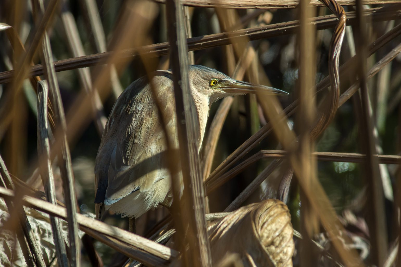 AFボーグ BORG90FLで撮影した野鳥・ヨシゴイの写真画像
