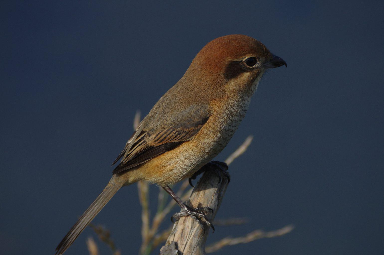BLANCA-70EDで撮影した野鳥・モズの写真画像