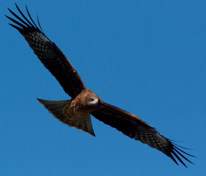 BORG71FLで撮影した野鳥・トンビの写真画像