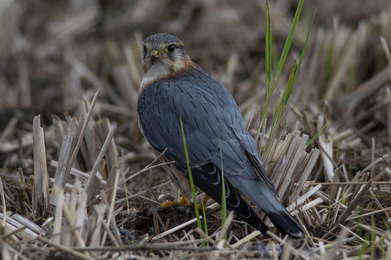 AFボーグ BORG71FLで撮影した野鳥・コチョウゲンボウの写真画像