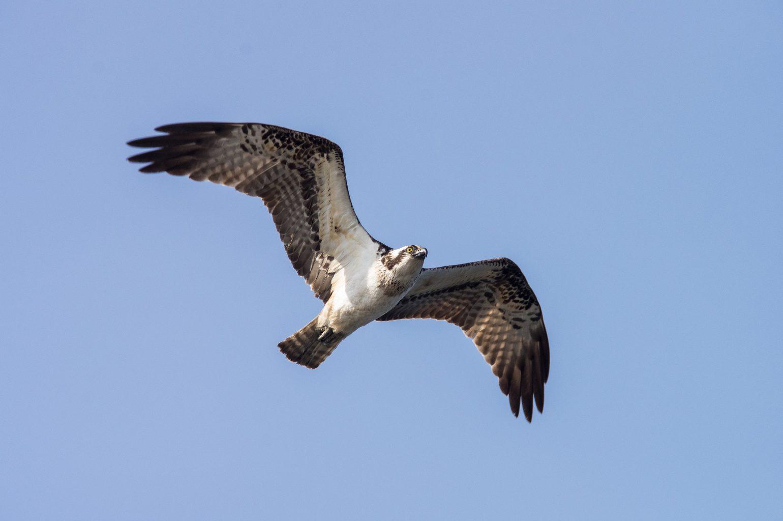 AFボーグ BORG71FLで撮影した野鳥・ミサゴの写真画像