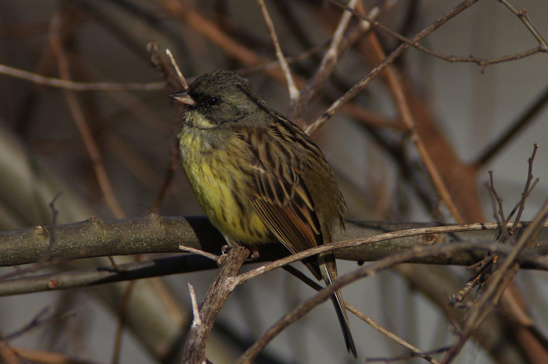 AF BLANCA-70ED 換算 1071mmで撮影した アオジの野鳥写真画像