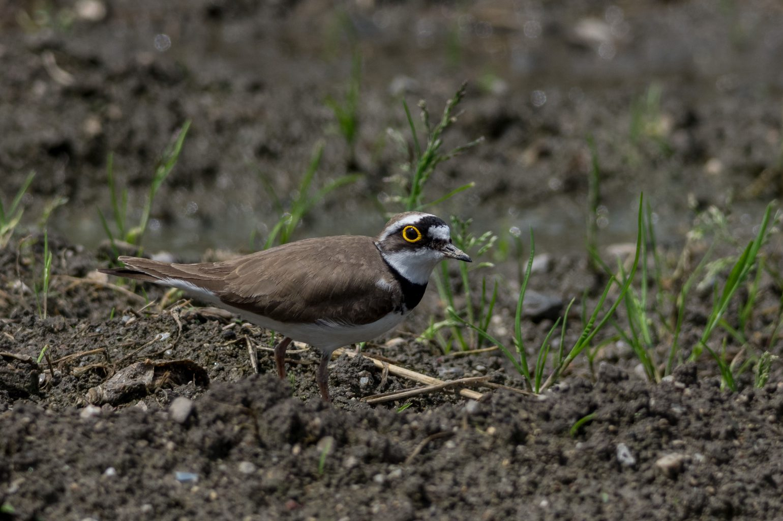 AFボーグ BORG71FLで撮影した野鳥・コチドリの写真画像
