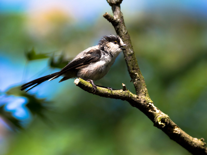 BORG90FLで撮影した野鳥・エナガの写真画像