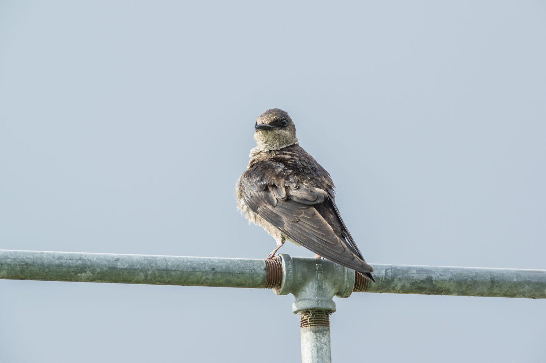 AFボーグ BORG71FLで撮影した野鳥・ムラサキツバメの写真画像