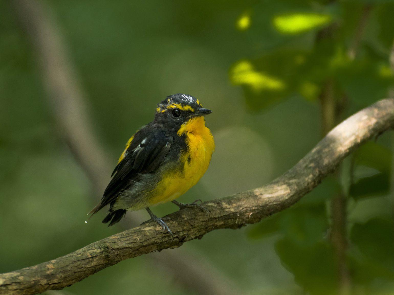 BORG90FLで撮影した野鳥・キビタキの写真画像
