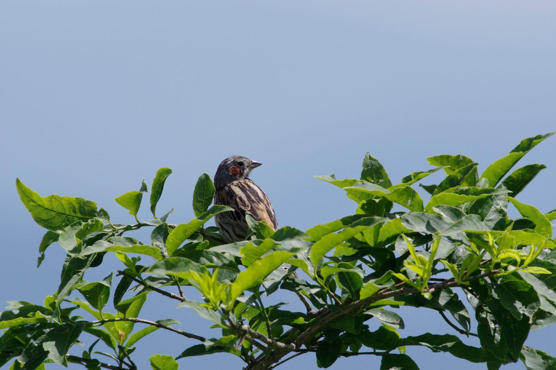AFボーグ BORG71FLで撮影した野鳥・ホオアカの写真画像