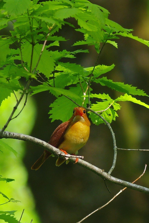 BORG90FLで撮影した野鳥・アカショウビンの写真画像