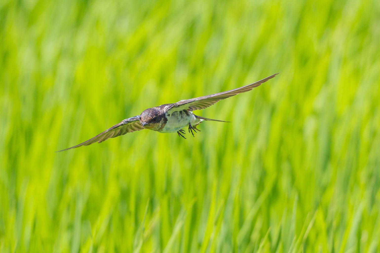 BORG71FLで撮影した野鳥・ツバメの飛翔写真画像