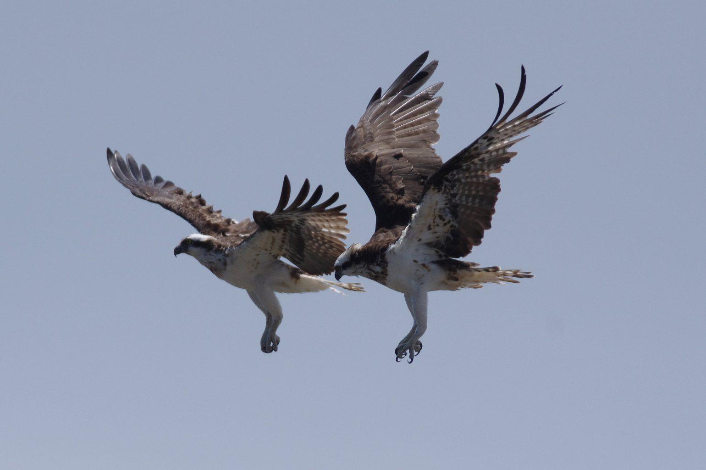 AFボーグ BORG90FLで撮影した野鳥・ミサゴの写真画像