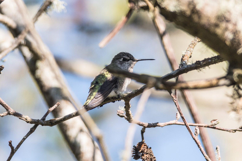 AFボーグ BORG71FLで撮影した野鳥・アンナハチドリの写真画像
