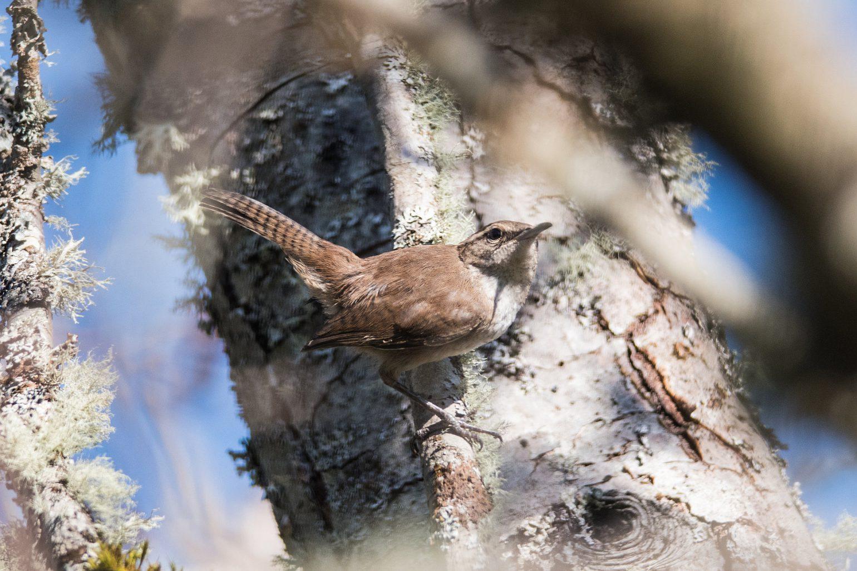 AFボーグ BORG71FLで撮影した野鳥・シロハラミソサザイの写真画像