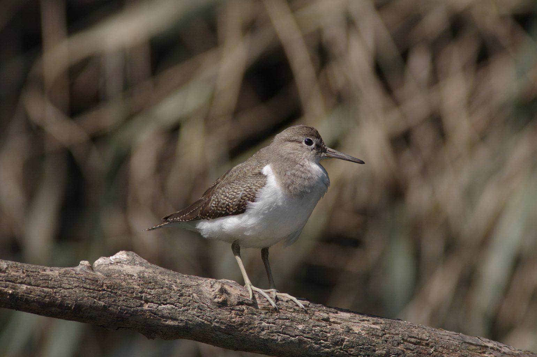 AFボーグ BORG90FLで撮影した野鳥・イソシギの写真画像