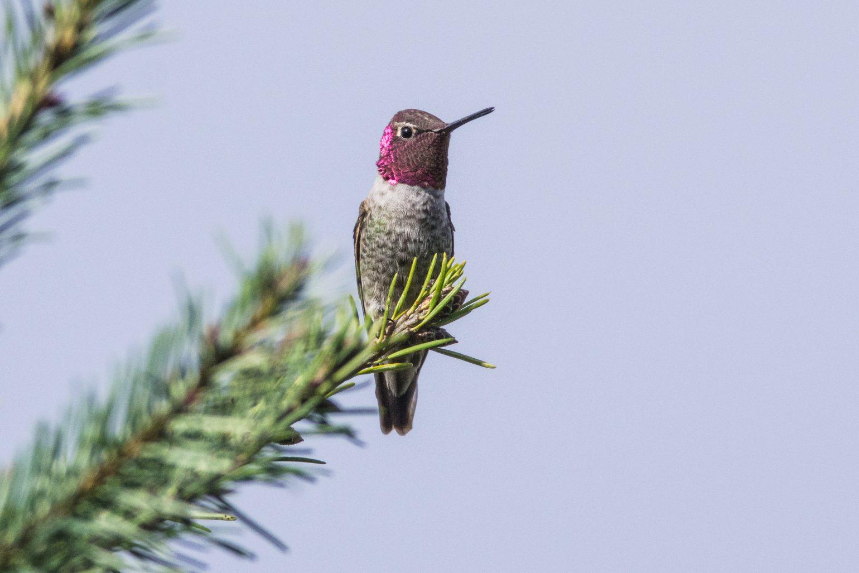 AFボーグ BORG71FLで撮影した野鳥の写真画像