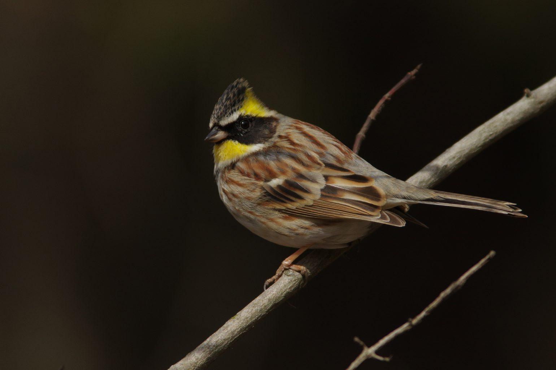BORGで撮影した野鳥・ミヤマホオジロの写真画像
