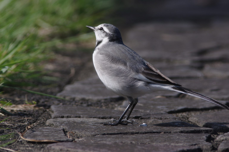 AFボーグ BORG77EDⅡで撮影した野鳥・ハクセキレイの写真画像