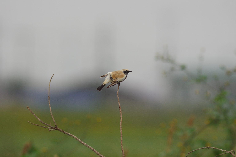 BORG90FLで撮影した野鳥・サバクヒタキの写真画像