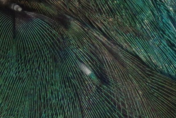 カワセミ画像