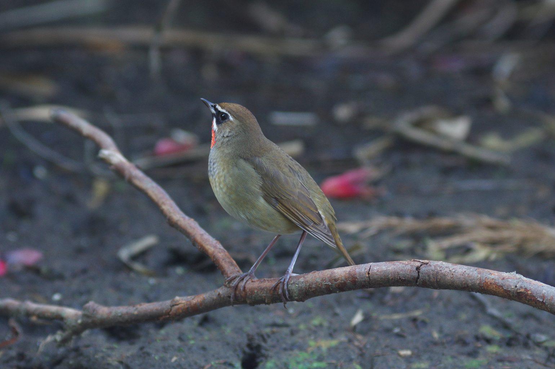 BORG90FLで撮影した野鳥・ノゴマの写真画像
