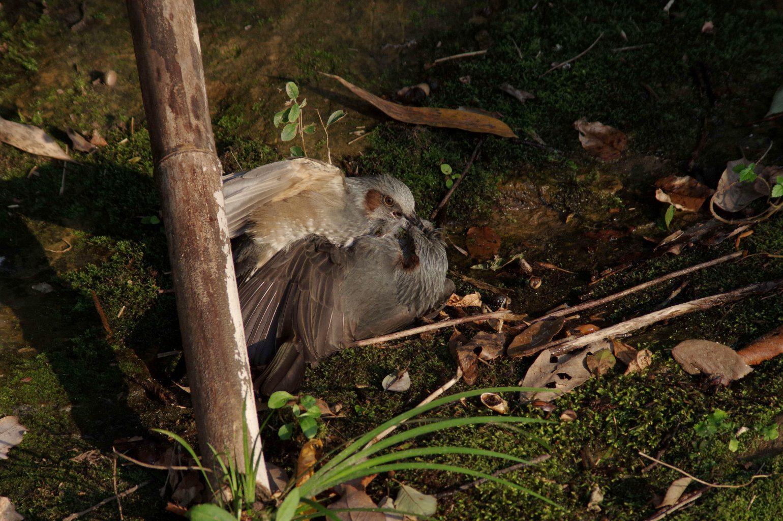 AFボーグ BORG90FLで撮影した野鳥・ヒヨドリの喧嘩シーン写真画像