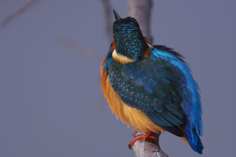 BORG90FLで撮影した野鳥・カワセミの写真画像