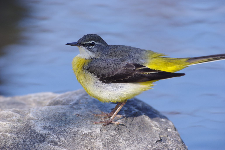 AFボーグ BORG71FLで撮影した野鳥・キセキレイの写真画像