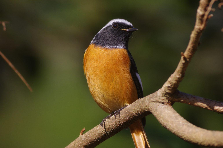 BORG77EDⅡで撮影した野鳥・ジョウビタキの写真画像
