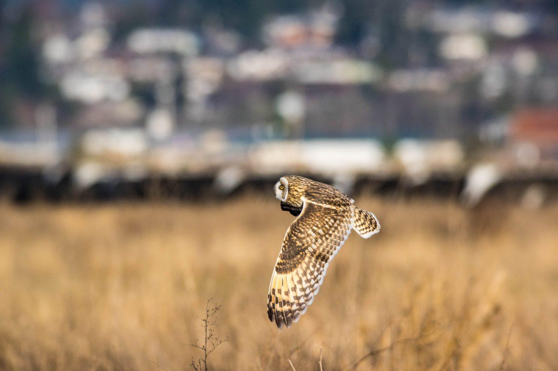 AFボーグ BORG71FLで撮影した野鳥・コミミズクの飛翔写真画像(トビモノ)