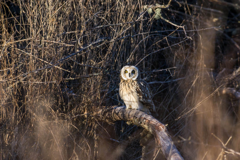 AFボーグ BORG71FLで撮影した野鳥・コミミズクの写真画像
