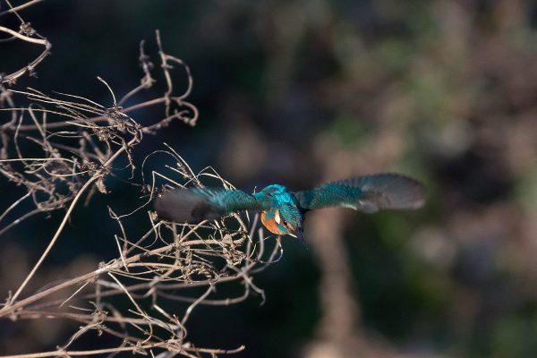 BORG71FLで撮影した野鳥・カワセミの飛翔写真画像(トビモノ)