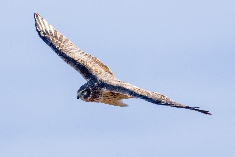 AFボーグ BORG71FLで撮影した野鳥・ハイイロチュウヒの飛翔写真画像(トビモノ)