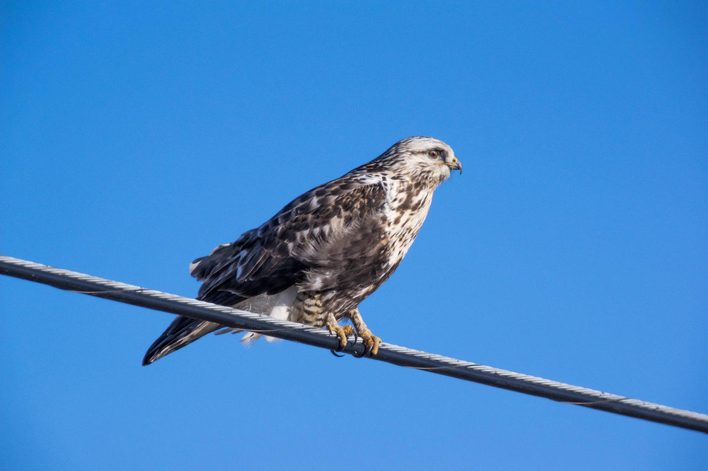 AFボーグ BORG71FLで撮影した野鳥・ケアシノスリの写真画像