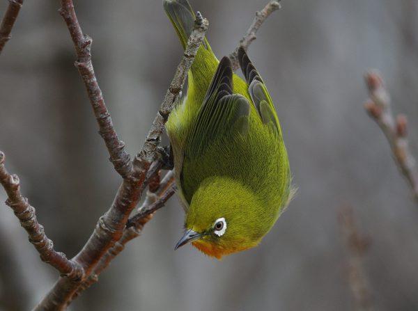 BORG89EDで撮影した野鳥・メジロの写真画像