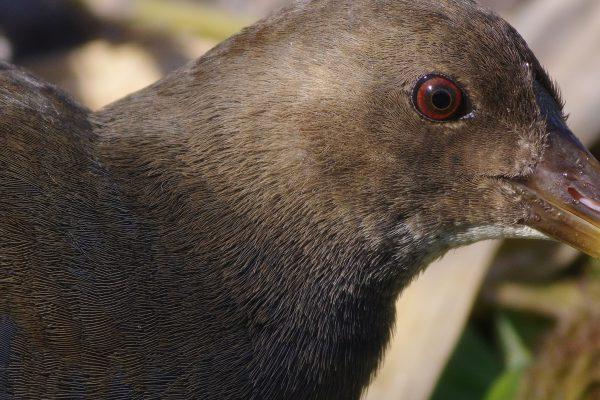AFボーグ BORG77EDⅡで撮影した野鳥・バンの写真画像