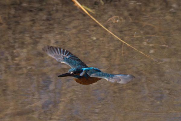 AFボーグ BORG71FLで撮影した野鳥・カワセミの飛翔写真画像(トビモノ)