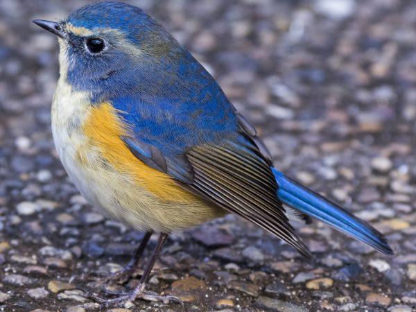 BORG90FLで撮影した野鳥・ルリビタキの写真画像