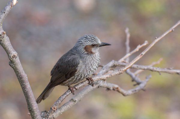BORG71FLで撮影した野鳥・ヒヨドリの写真画像