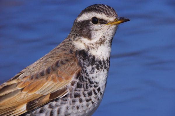 AFボーグ BORG77EDⅡで撮影した野鳥・ツグミの写真画像