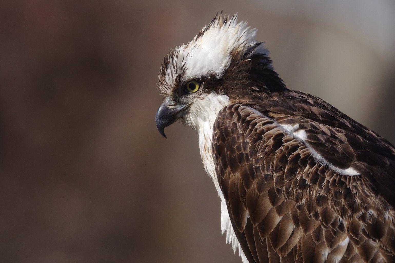 BORG71FLで撮影した野鳥・ミサゴのドアップ写真画像