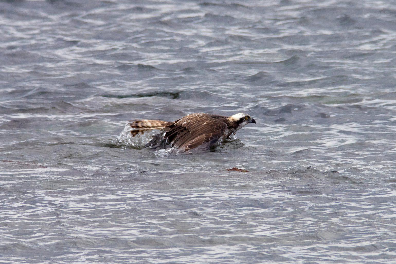 AFボーグ BORG71FLで撮影した野鳥・ミサゴの黒鯛捕獲シーンの写真画像