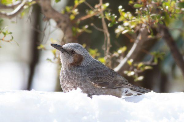 BORG77EDⅡで撮影した野鳥・ヒヨドリの写真画像